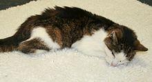 Diarrhée Persistante Chez Le Chat