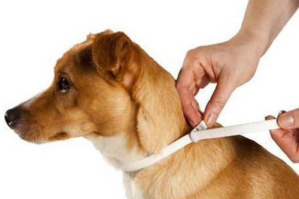 Antipuce naturel pour chien